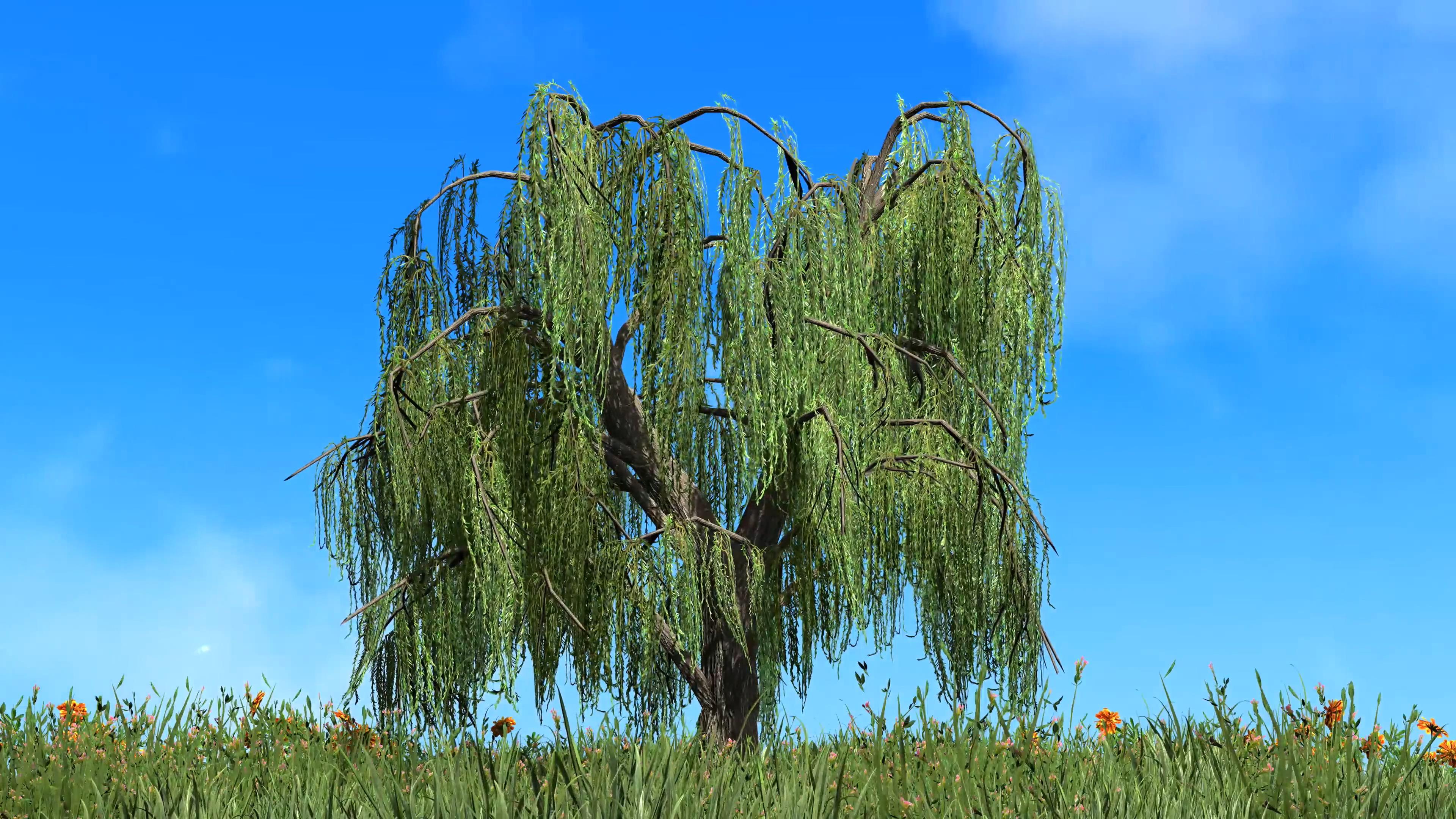 蓝天白云草地中的柳树