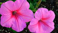 矮牵牛花 花卉 鲜花花朵盛开绽放 喇叭花