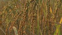 成熟的水稻田稻穗稻谷\-农民收割稻子\-打谷子