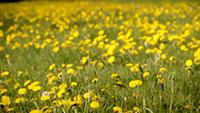 微风吹野花盛开的草地阳光_开满黄色的花朵