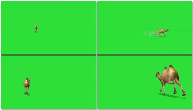 绿屏抠像奔跑的骆驼
