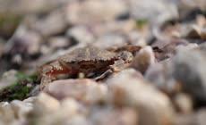 海滩上螃蟹高清实拍视频素材