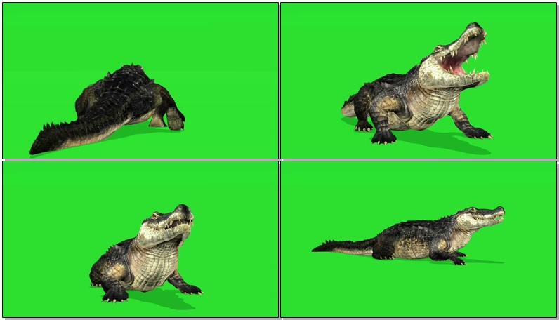 绿屏抠像爬行的鳄鱼