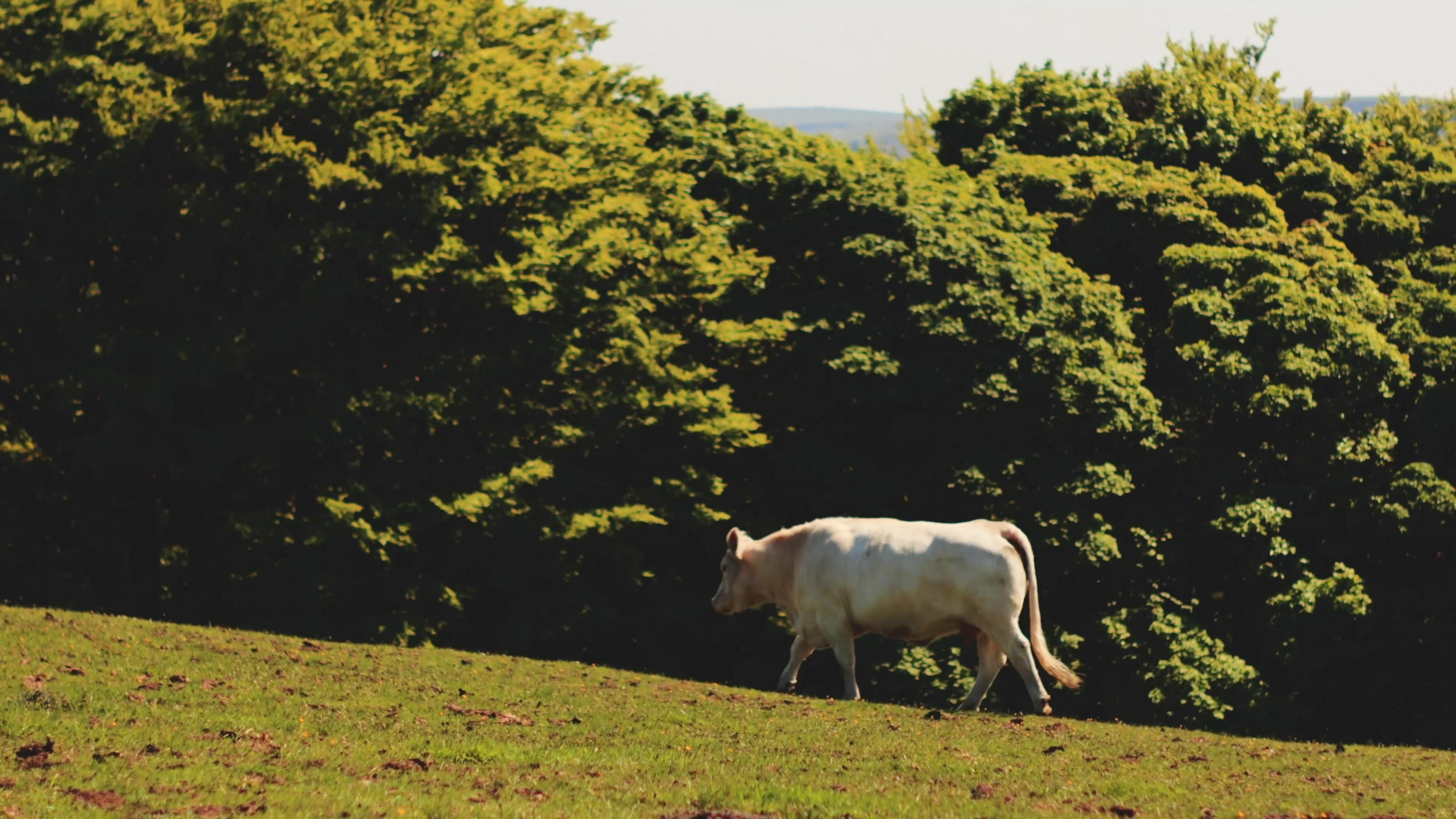 户外饲养的牛