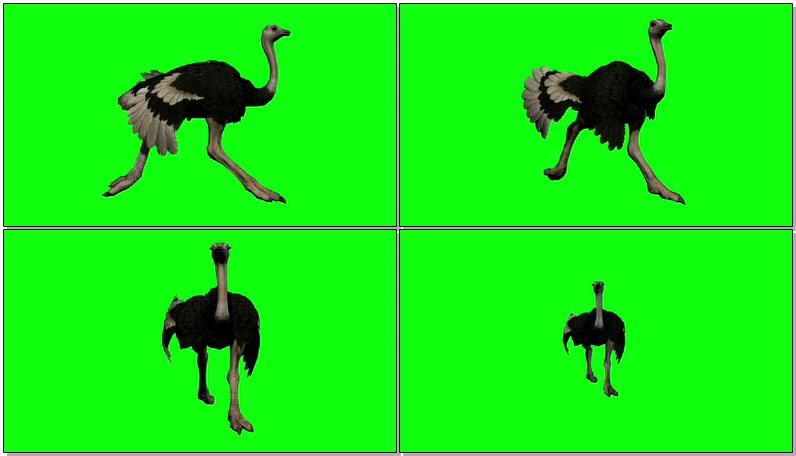 绿屏抠像奔跑的鸵鸟