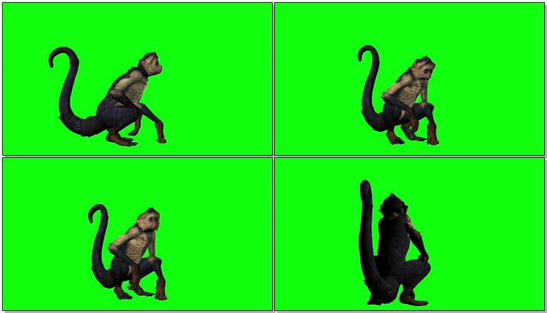 绿屏抠像休息的猴子