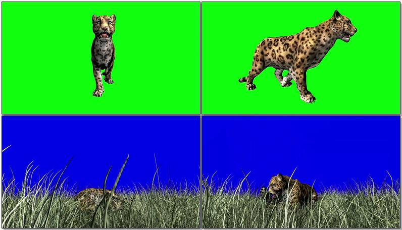 绿屏抠像行走的花豹