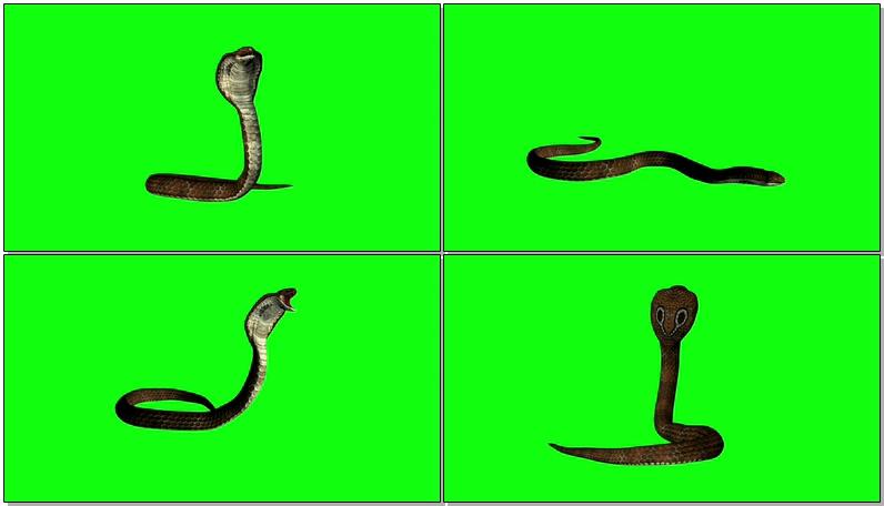 绿屏抠像眼镜蛇