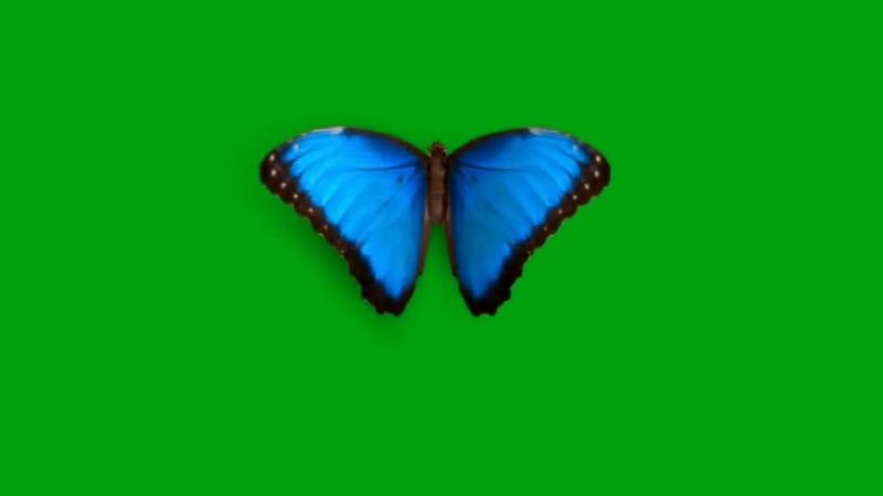 绿屏抠像蓝色蝴蝶