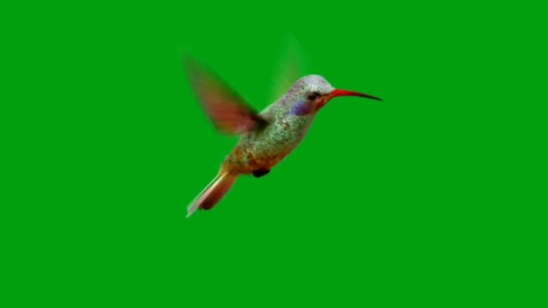 绿屏抠像飞行的蜂鸟