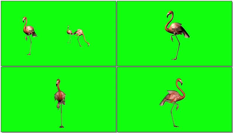 绿屏抠像火烈鸟