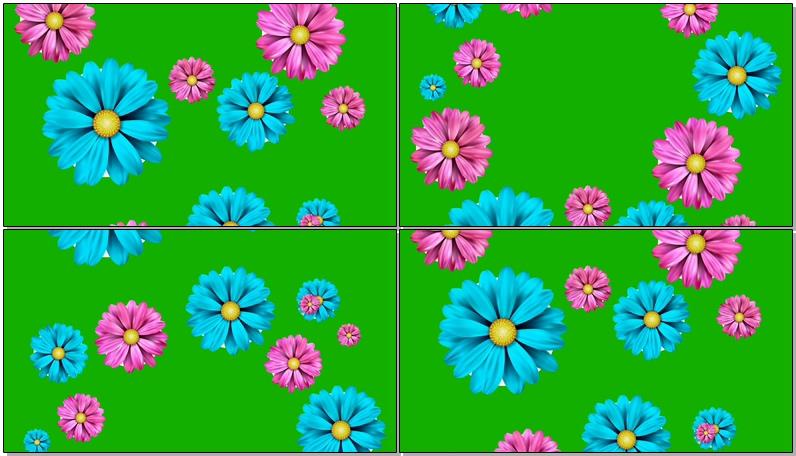 绿屏抠像飘落的彩色菊花