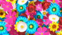 五颜六色花瓣掉落转场