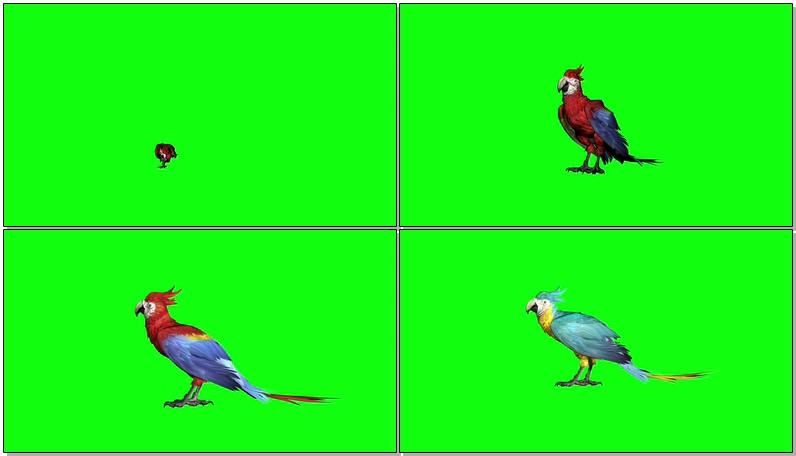 绿屏抠像彩色鹦鹉