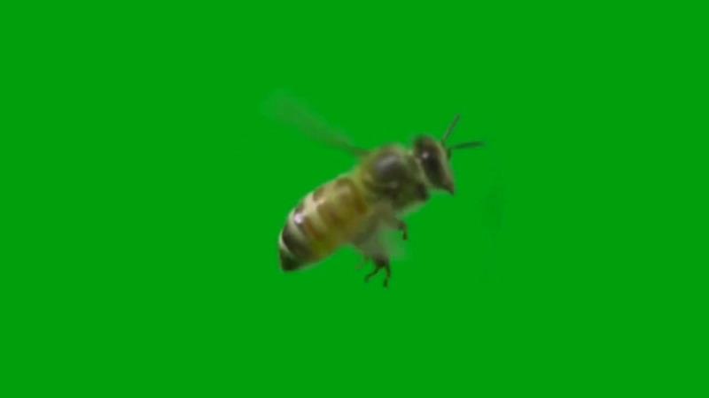 绿屏抠像飞行的蜜蜂