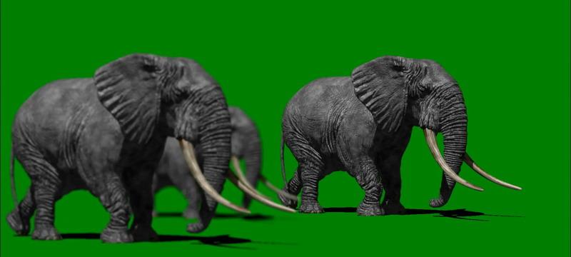 绿屏抠像行走的大象群