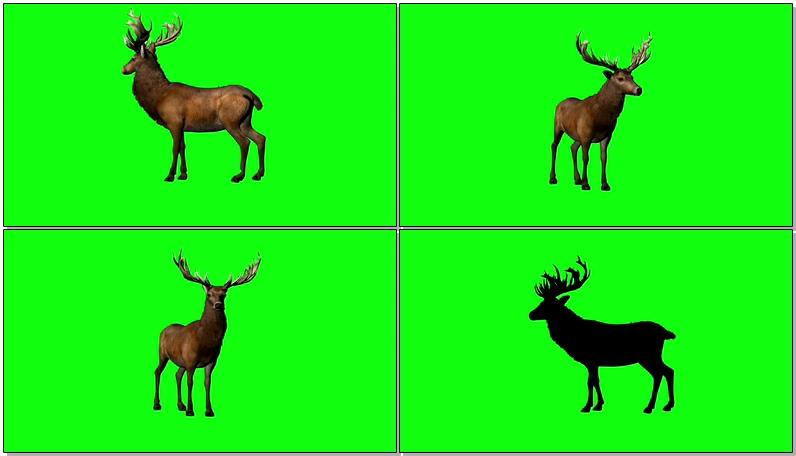 绿屏抠像雄鹿