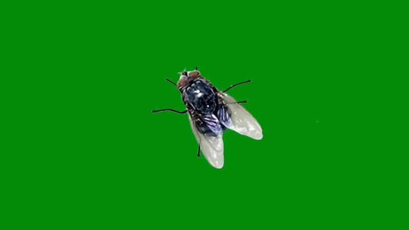 绿屏抠像苍蝇