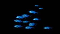 蓝色群鱼抠像