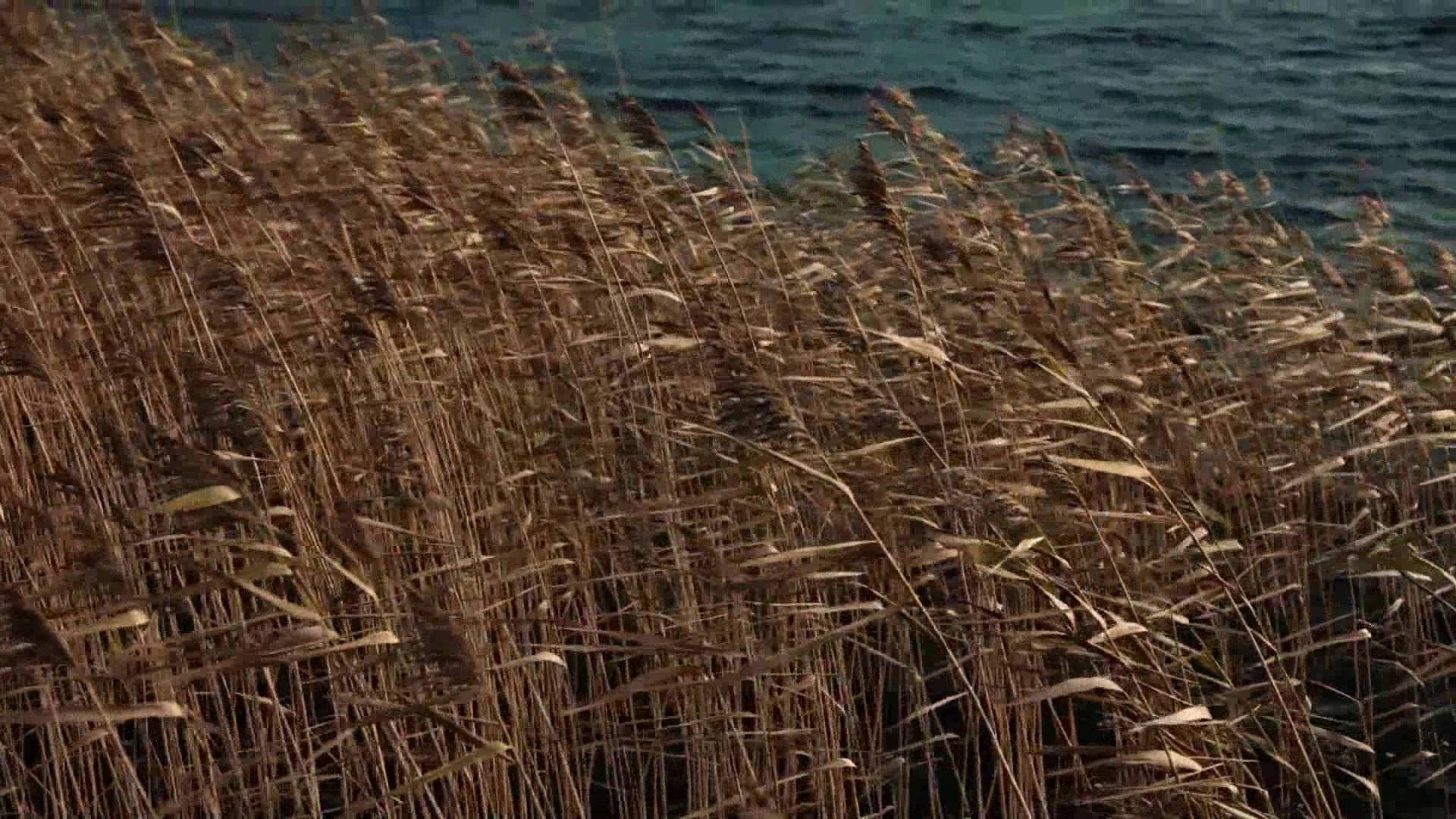 黄昏 河边的芦苇