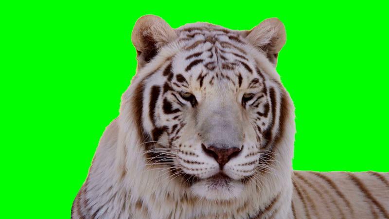 \[4K\]绿屏抠像近拍白虎