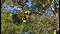 喜鹊落在树枝上实拍