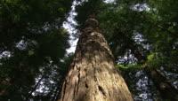 笔直高大的参天树