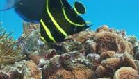 黑黄条纹鱼礁石娱乐实拍视频