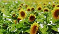 农业实拍-向日葵