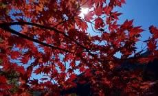 秋天红色枫树林枫叶实拍