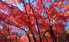 秋天红色枫叶林实拍