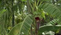 农业实拍-香蕉特写