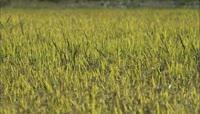 实拍农业素材\-水稻