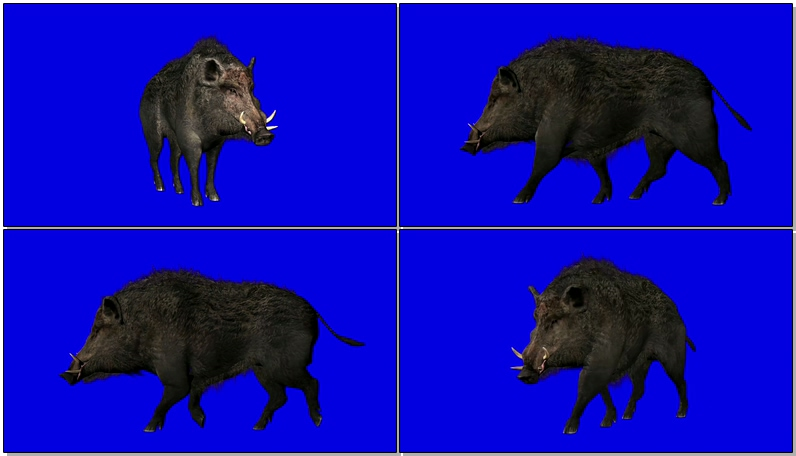 蓝屏抠像野猪