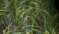 农业实拍\-水稻素材