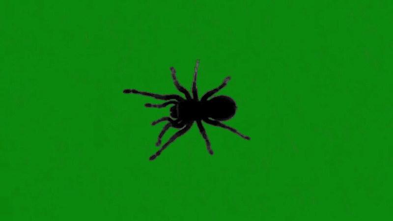 绿屏抠像爬行的黑蜘蛛