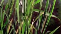 稻穗快速生长
