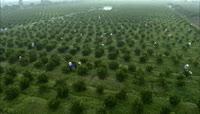 实拍农业-采摘茶树柑