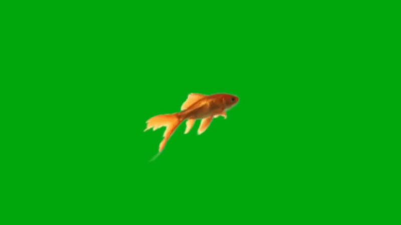 绿屏抠像游动的金鱼