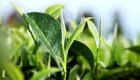 茶叶茶树茶园古茶树高清实拍视频素材