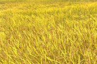 风吹稻浪 水稻穗 秋季秋天 金黄的稻谷成熟 稻子