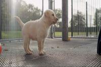 拉布拉多宠物犬视频素材 小狗狗 幼犬