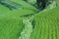 水稻田延时摄影拍摄 梯田水稻生长变化