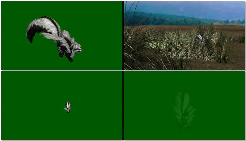 绿屏抠像行走的臭鼬