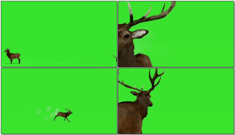 绿屏抠像奔跑的公鹿