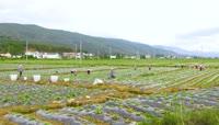 农民挑水灌溉农田高清实拍视频素材