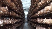 大棚香菇种植高清实拍视频素材