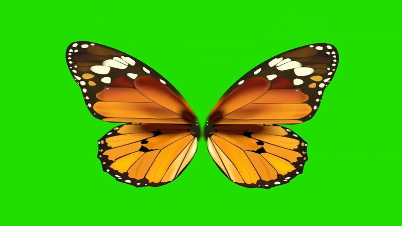 绿屏抠像美丽的蝴蝶