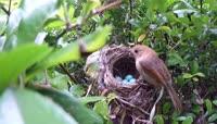 伟大母爱之麻雀哺育雏鸟视频素材