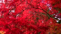 秋天爬山欣赏火红的枫叶视频素材
